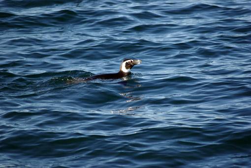 ein Maghellan-Pinguin