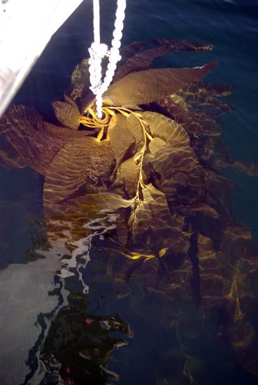 Kelp um die Ankerkette