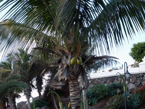 Kokosnüsse am Wegesrand
