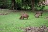 Wasserschweine auf Anchieta