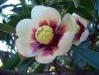 Tropische Blüte im Südwinter
