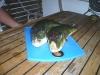 Und da liegen zwei Kugelfische zum filetieren